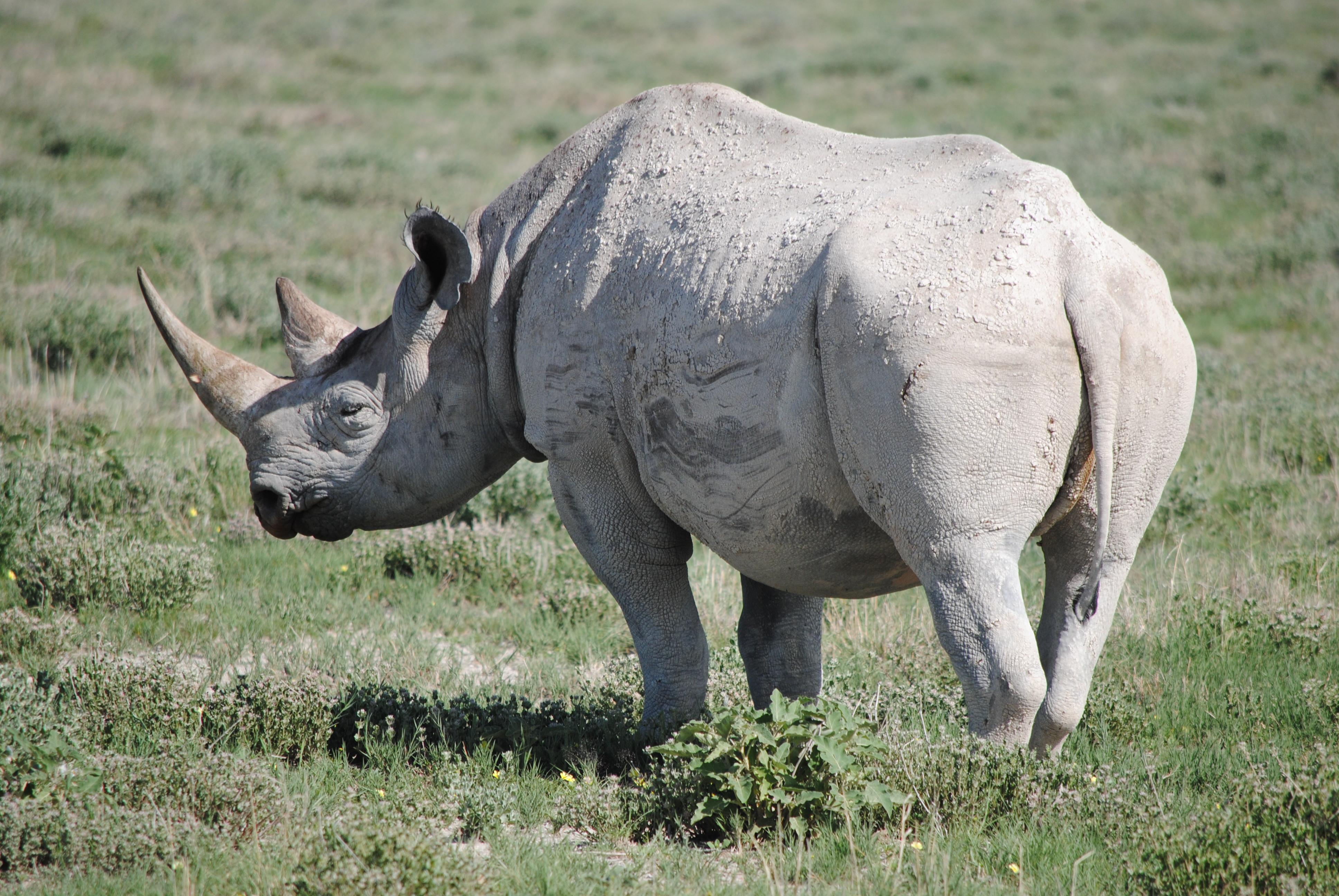 Nashorn im Ethosa-Nationalpark