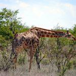 tag10_Giraffegeduckt