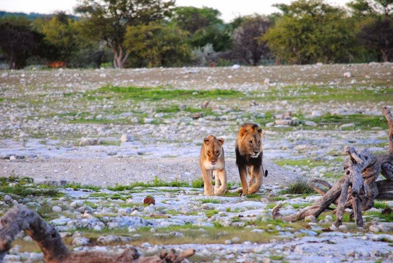Löwen in Ethosa